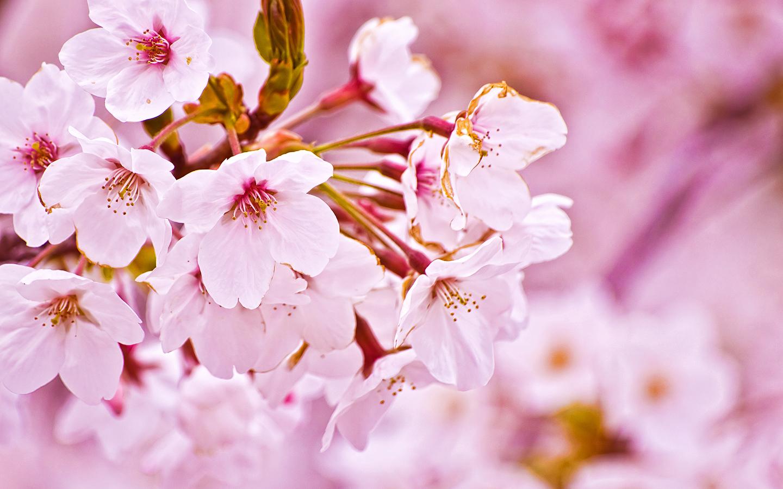 Primavera. Rinascita. Sakura.